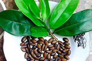 Semillas y hojas de graviola o guanábana